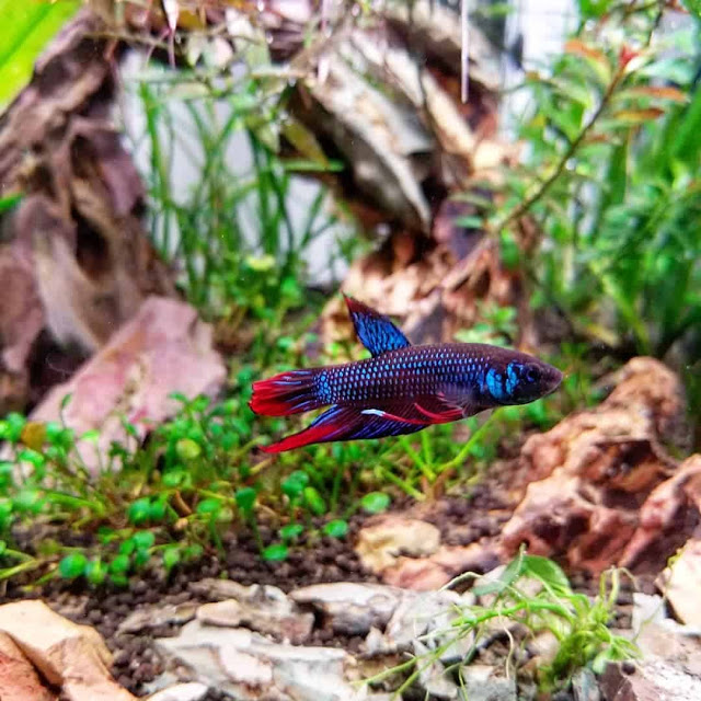 Knowing All Fun Facts Of The Wild Betta Imbellis Or Peaceful Betta Fish